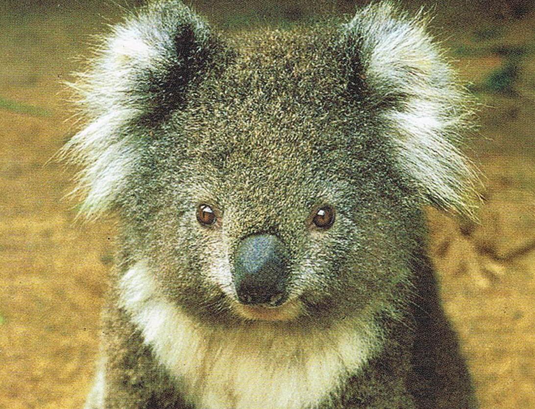 Ein Koala aus Australien