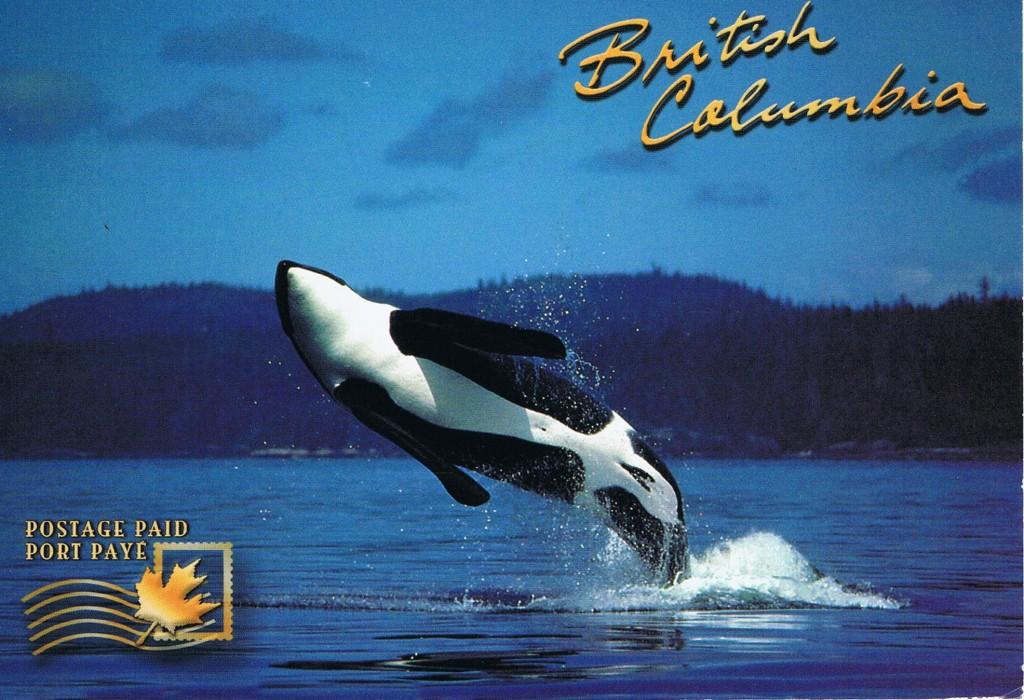 Ein Orca an der Küste von Vancouver Island