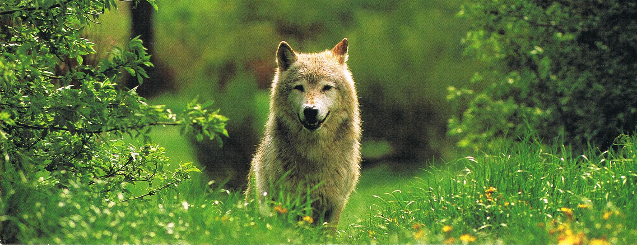 """Tundra Wolf im Park von """"Sainte-Lucie"""""""