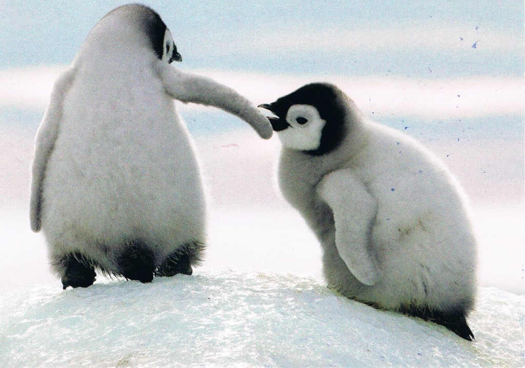 Zwei Pinguine aus den Niederlanden