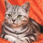 Katze aus Tschechien