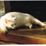 Weiße Katze aus Alveslohe