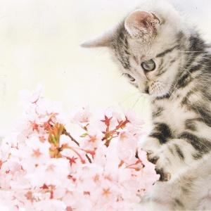 Katze mit Kirschblüten