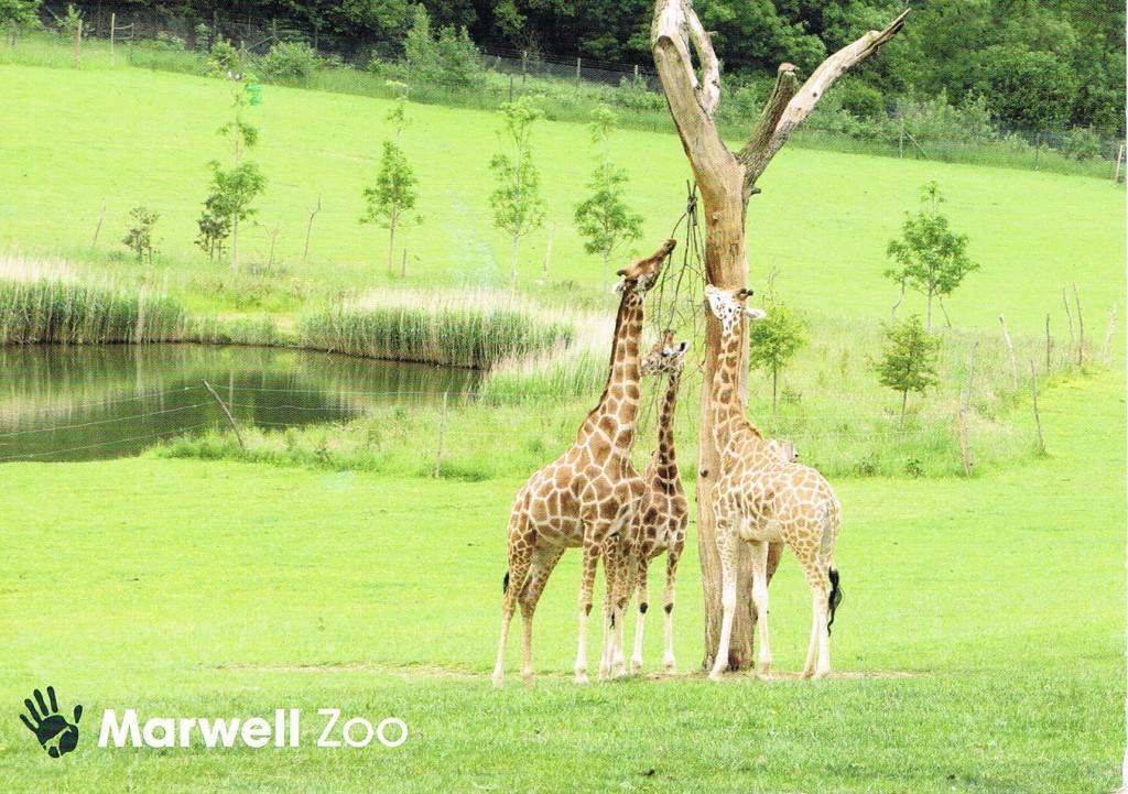 Giraffen im Marwell Zoo