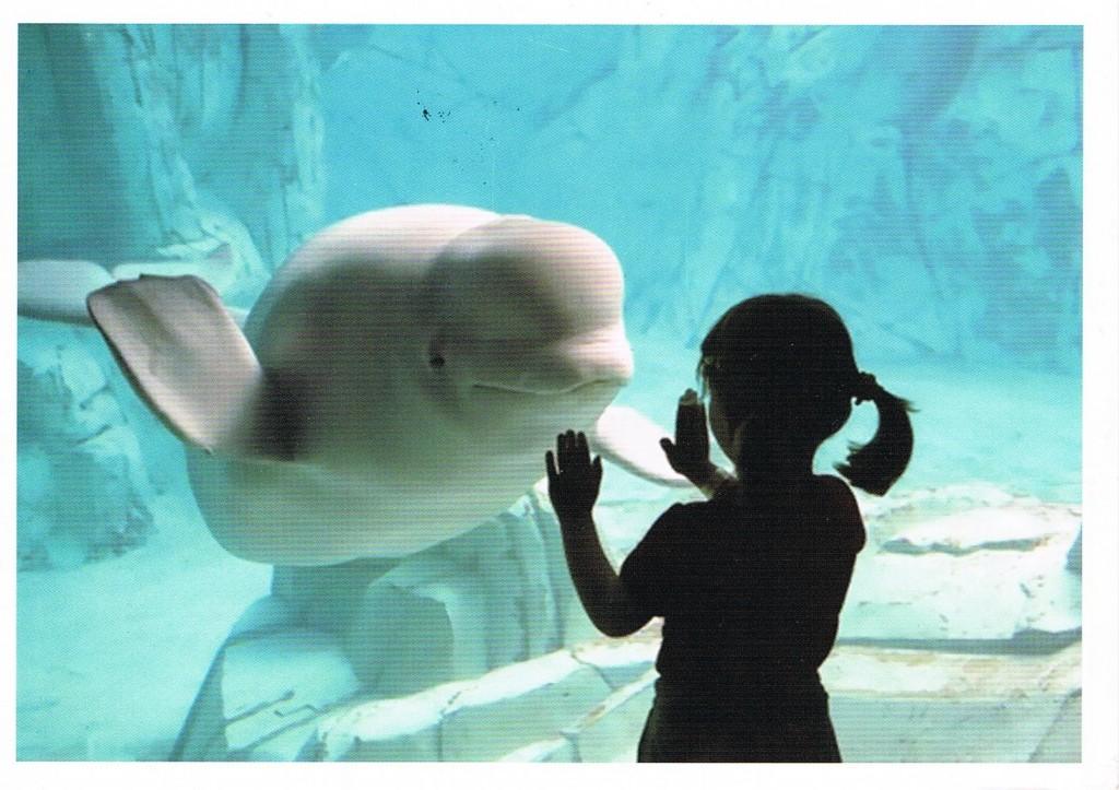 Ein Weißwal in einem Becken