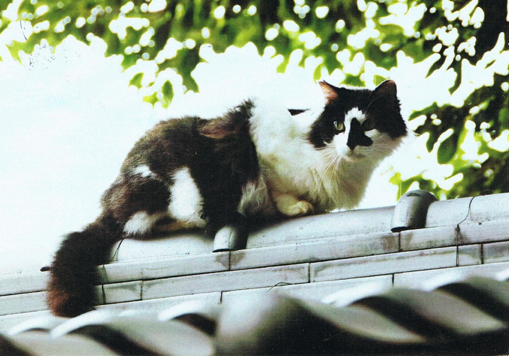 Katze aus Taiwan