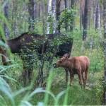 Elch mit Kalb im Alam-Pedja Nationalpark
