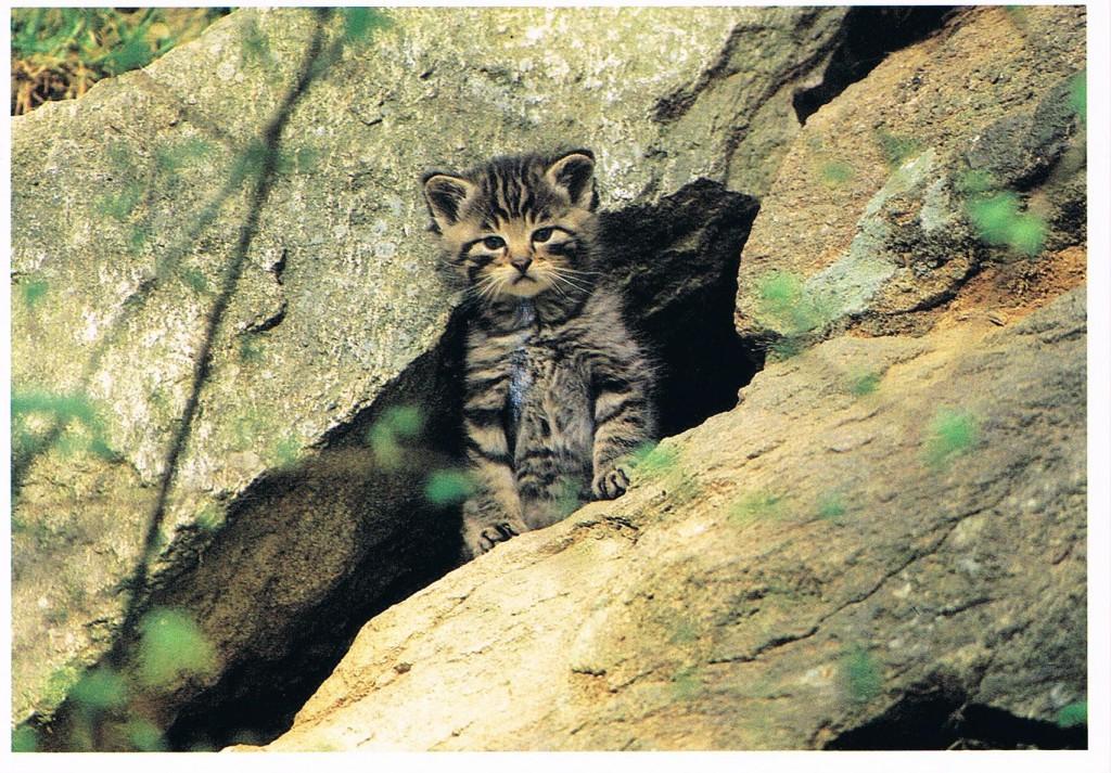 Eine junge Wildkatze