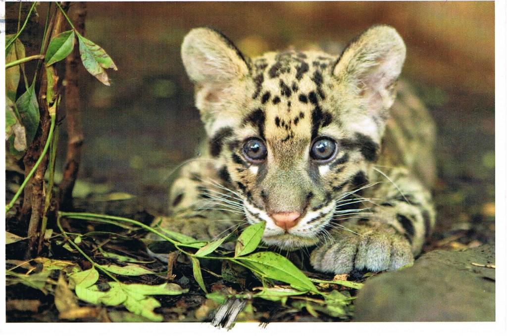 Ein junger Leopard aus dem Zoo in Nashville