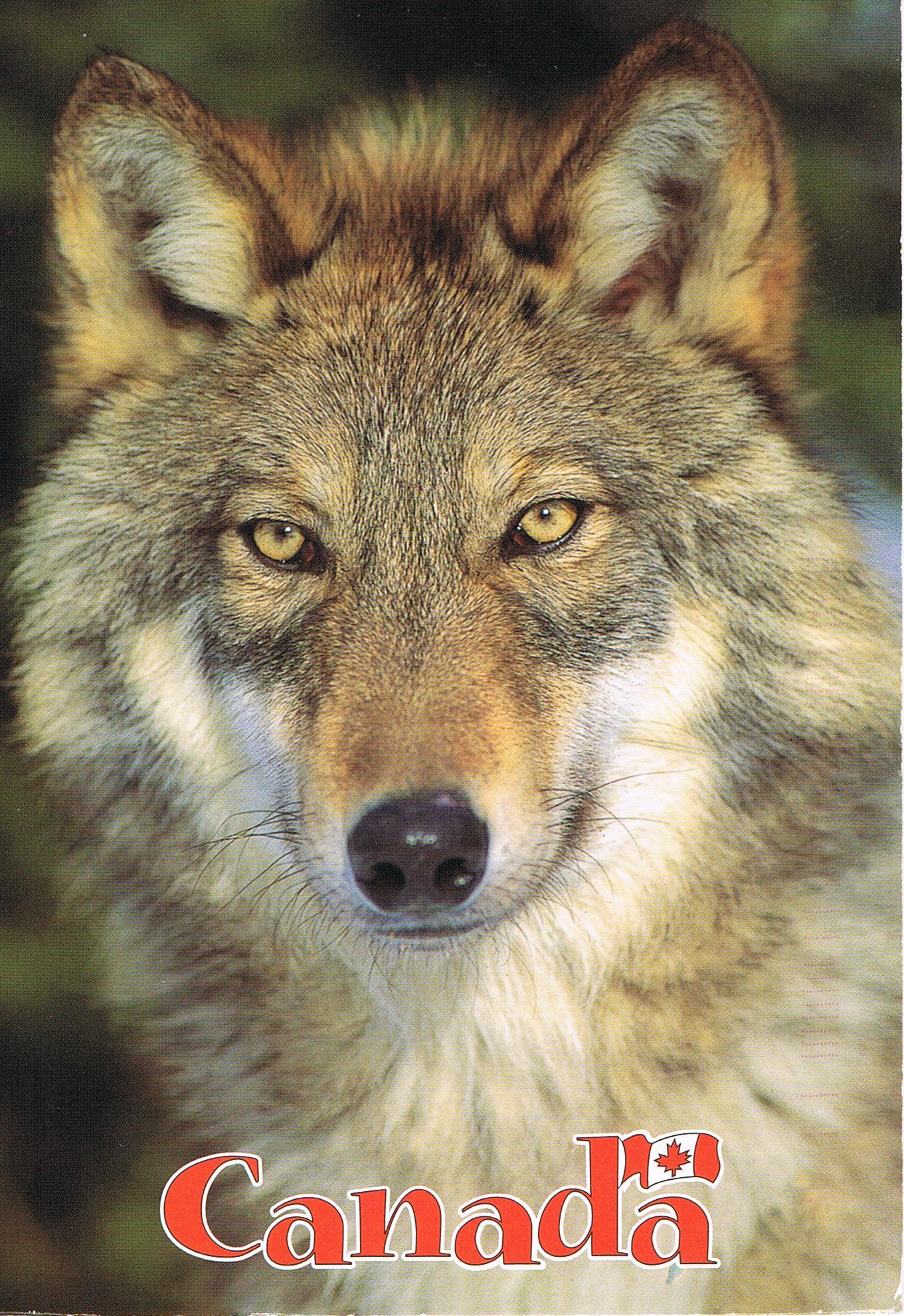 Timberwolf aus Kanada