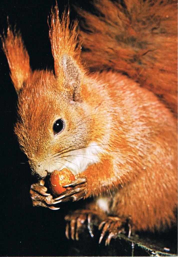 Ein Eichhörnchen aus dem Westerwald