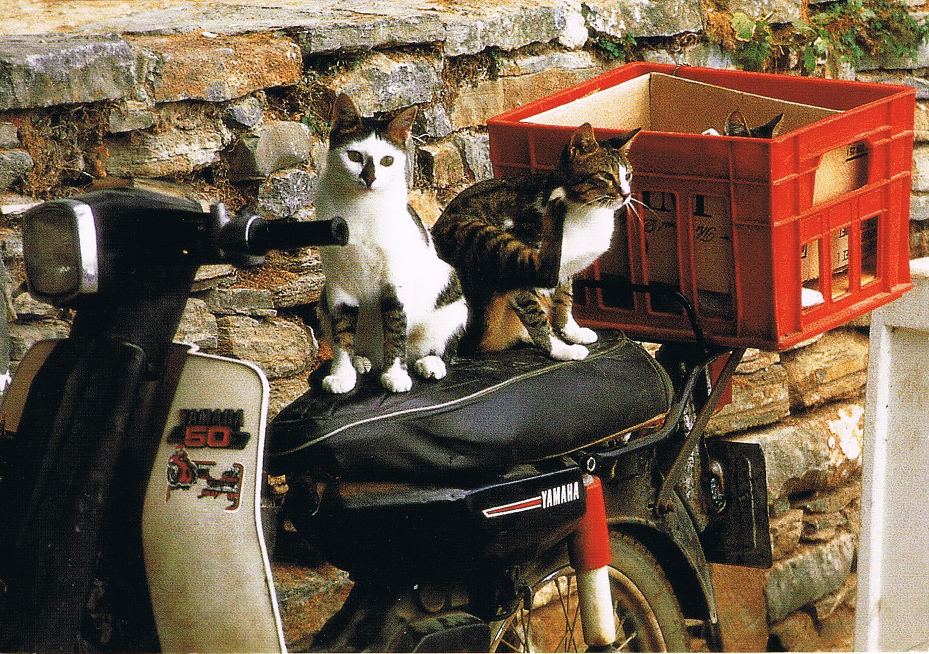 Katze auf einem Motorroller